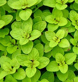 Oregano Oleoresin Manufacturer